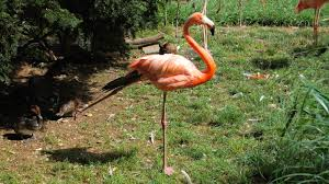 scientists pinpoint how a flamingo balances on one leg the two
