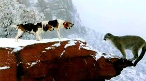 bluetick coonhound genetics coonhound dog breed standards