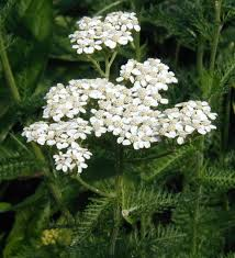 native alberta plants native yarrow patch yields bountiful flowers
