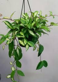 live indoor plants low light indoor plants for sale in dazzling ficus elastica low