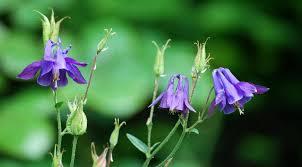 columbine flowers aquilegia