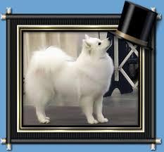 american eskimo dog ontario american eskimo dog breeders wachusett american eskimos nevaeh
