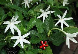 Fragrant Tropical Plants - tropical plants flowering and fragrant vines shrubs zone 9 houston