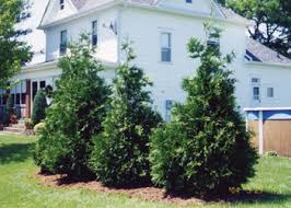 green rocket hybrid cedar tree transplant cedar trees for sale
