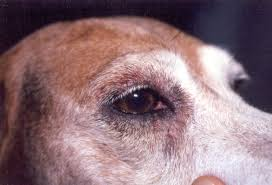 australian shepherd eye diseases dog health wikipedia