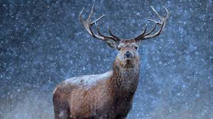 a red deer in the snow getty images 1 photo 1 day