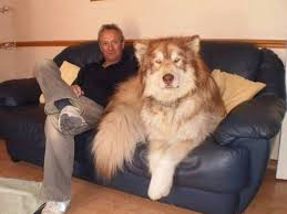 sofa jpg 1191 893 alaskan malamute pinterest animal