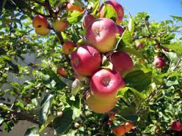 pink apple tree southern apple trees standard apple trees