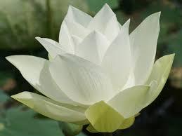 symbolizes meaning white lotus flower meaning and symbolism mythologian net