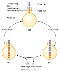 Anatomy And Physiology Of Copd Chapter 16