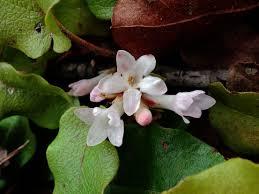 parkfairfax native plant sale file epigaea repens trailing arbutus jpg wikimedia commons