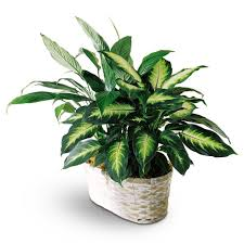 peace plant peace and dieffenbachia planter at send flowers