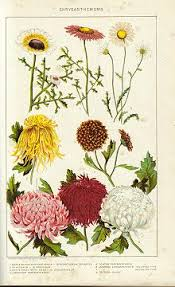 flower encyclopedia chrysanthemum