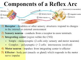 Motor Reflex Arc Lab 10 Anatomy Of Spinal Cord And Spinal Nerves Reflexes And