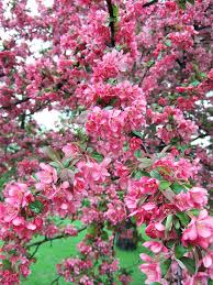 pink flower tree best crabapples for your yard