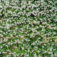star jasmine on trellis trachelospermum jasminoides star jasmine