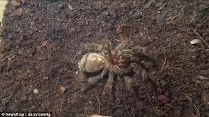 video shows a tarantula crawling out of its own skin daily mail