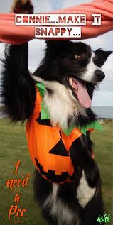 diy dog halloween costume 251 best halloween costumes border collie halloween pictures asha