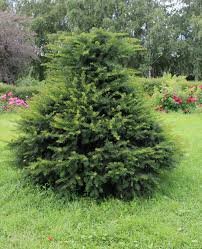 zone 8 conifer varieties learn about coniferous trees for zone 8