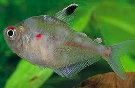 fresh water ornamental fish diseases pictures tropical