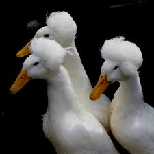 white crested ducks