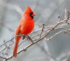 it u0027s best to see red if you u0027re a bird cosmos