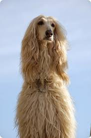 afghan hound trainability 1000 images about afegão on pinterest