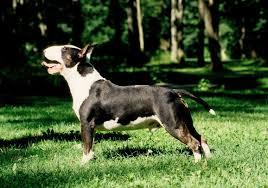 bull terrier dog breeds at mypetsmart com