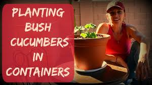 how to grow cucumbers in containers or pots vegetable garden in
