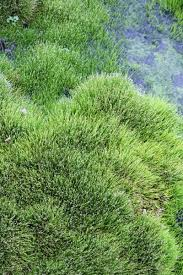 18 best moss and moss like plants zone 6 images on