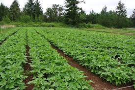 we love growing dry beans you should too