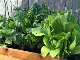 what are you going to do with all that chard in your backyard