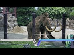 woolly mammoth clone scientists closer bringing