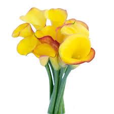 Calla Lillies Of Gold Yellow Mini Calla Lily