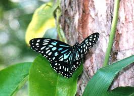 Blue And Green Butterfly - blue tiger butterfly tirumala hamata