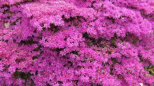 Download Wallpaper 1920x1080 Azalea Flowering Shrubs Beautiful