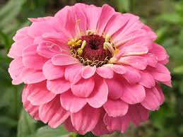 zinnia flower zinnias how to grow and care for zinnia plants garden helper