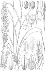 traits and dna link grass species from old and new worlds