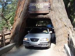 Chandelier Tree Address The First Time You Drive Through A Tree U2026 Marla Sink Druzgal