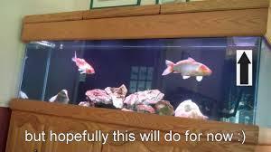 koi fry in my aquarium sump youtube