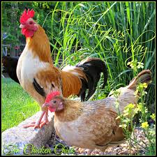the chicken flock focus friday 6 6 14 featuring a happy