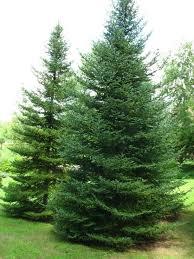 abies balsamea var phanerolepis bracted balsam fir canaan fir