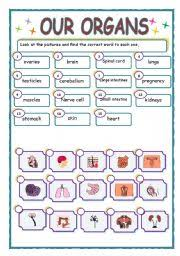 worksheet our organs