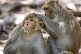 young male monkeys prefer spending time with daddy study says