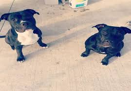 american pitbull terrier info black pit bull dogs are they really popular u2022 american bully