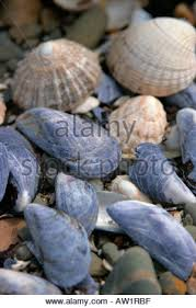assorted seashells assorted seashells on in scotland stock photo royalty free