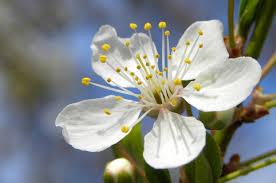 18 gardenia flower gallery for gt tuberose flower 你知道
