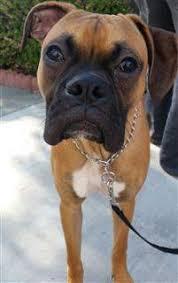 3 month boxer dog boxer dog information center awesome boxer photos