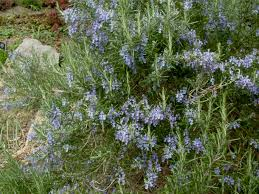 Highly Fragrant Plants Rosemary Prostratus Is A Low Growing Rosemary With A
