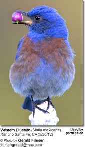 How To Attract Indigo Buntings To Your Backyard Attracting Bluebirds To Your Garden Beauty Of Birds